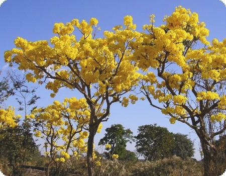 ipe_amarelo_1