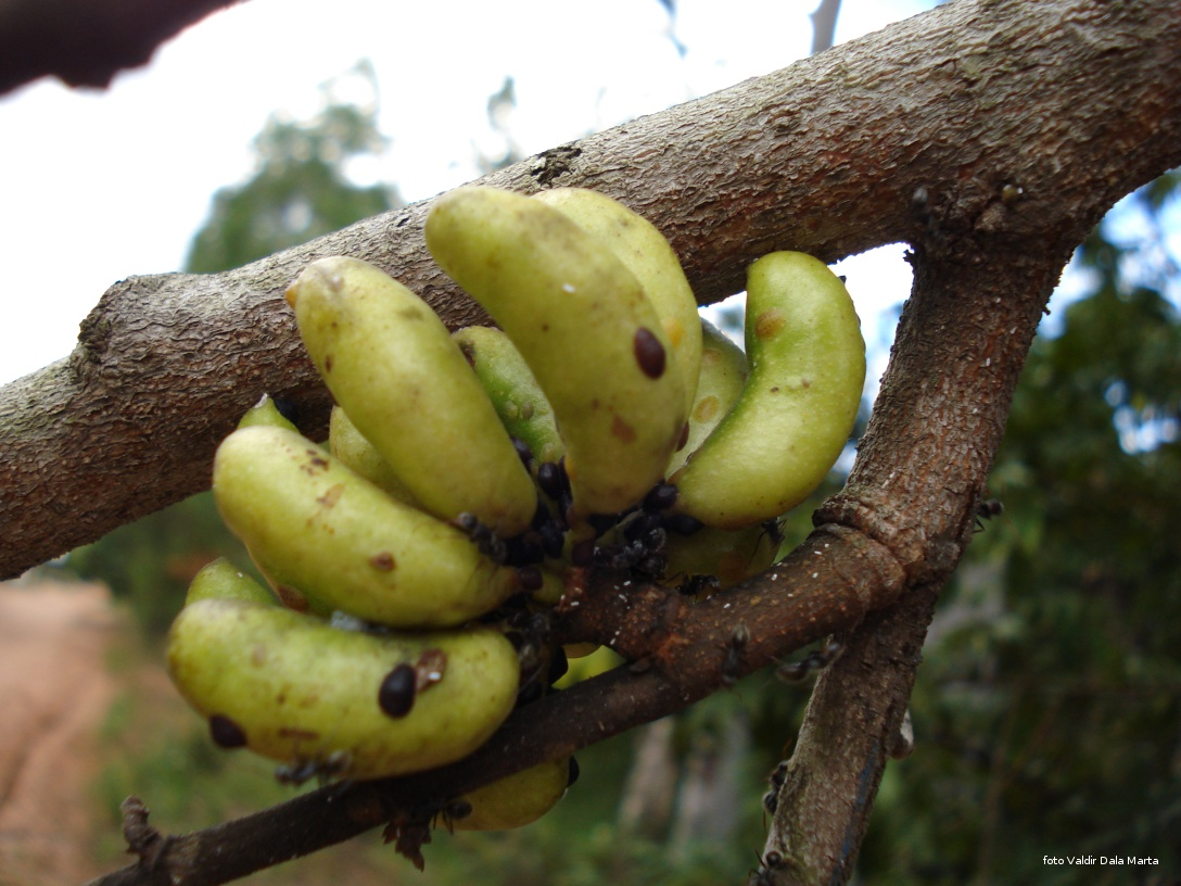 Fabuloso Pimenta de Macaco | Blog Timblindim DR35