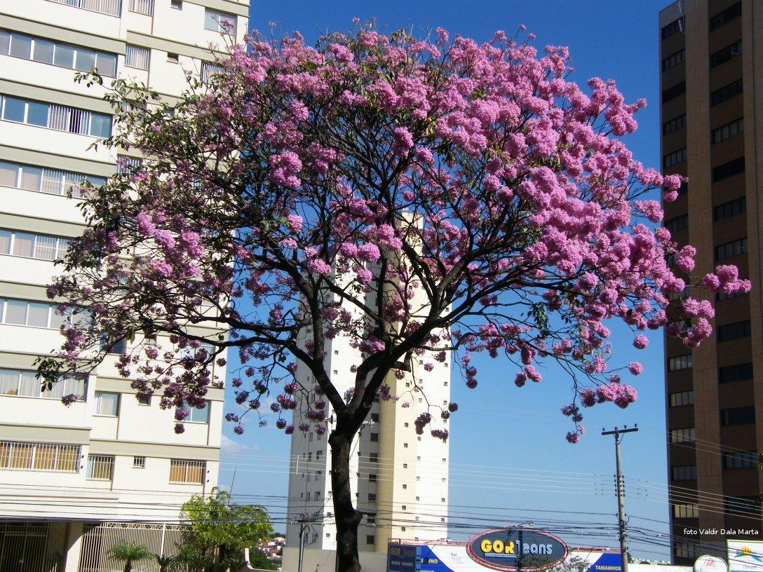 Amado Ipê Rosa | Blog Timblindim KO96