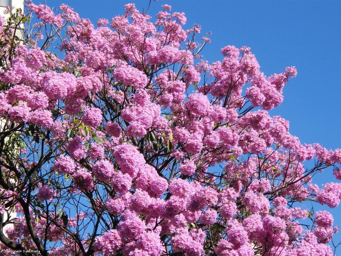ipe de jardim familia:Ipe Tree