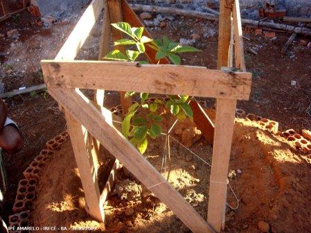 Ipê amarelo plantado junto à casa do Valdi.