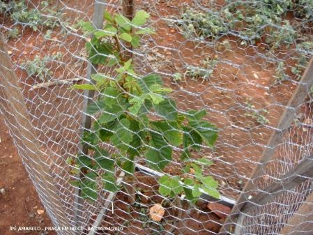 Ipê amarelo plantado em praça de Irecê - Ba.