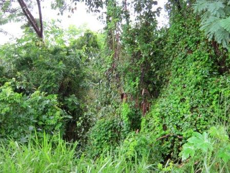 Na parte não aterrada da antiga voçoroca, leucenas vão formando um bosque intricado.