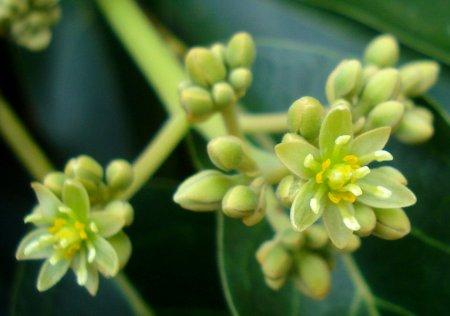Botões e flores do Abacateiro.