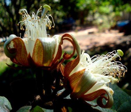 Nesta foto e nas duas seguintes, flores do Açoita-Cavalo, com cerca de 4 cm de diâmetro.