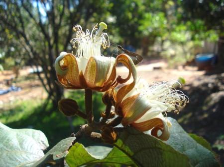 Luehea-grandiflora-3