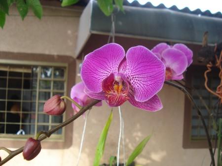 Orquídea Borboleta, originária do sudeste asiático. Exemplar provavelmente híbrido.