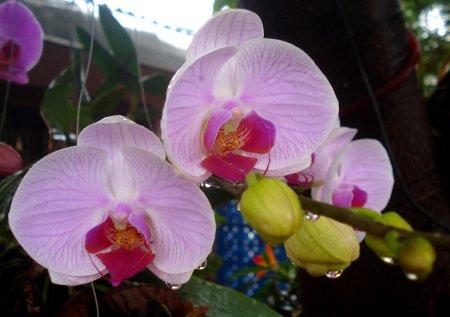 Outro híbrido de Phalaenopsis, pouco depois de uma chuva.