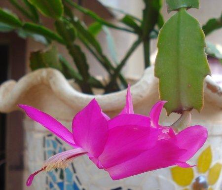 Flor-de-seda, ou flor-de-maio.