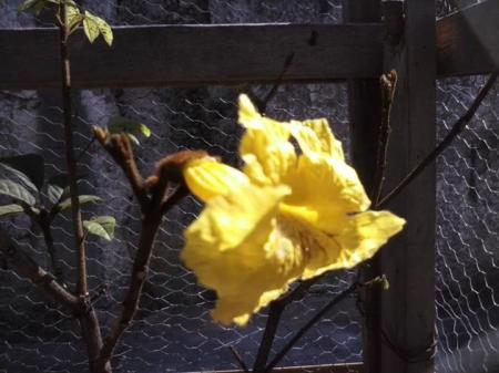 Flor do Ipê do Gabriel