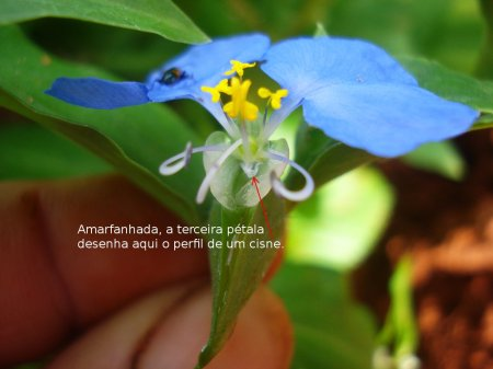 Commelina-erecta-06