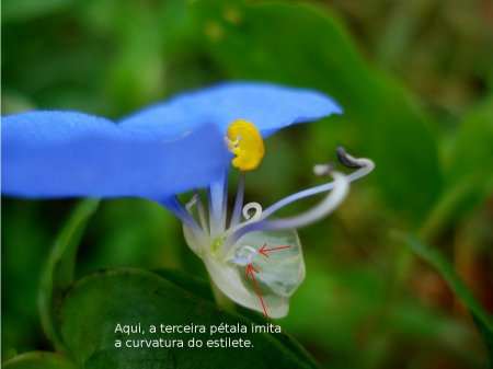 Commelina-erecta-07