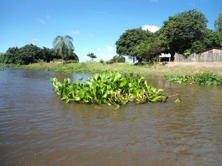Ilhas de aguapé descendo o rio. Ao fundo, Isla Margarita.